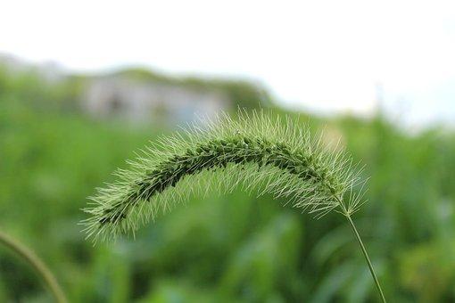 Caterpillar Grass, Grass, Green, Plant, Nature, Summer