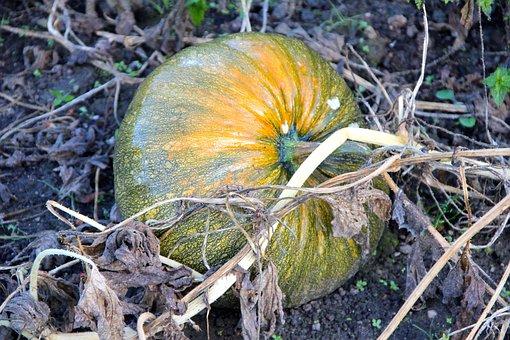 Styrian Oil Pumpkin, Pumpkin, Plant