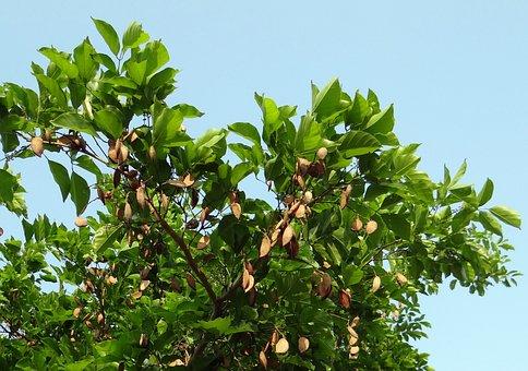 Milletia Pinnata, Karanj, Tree, Pongamia Pinnata