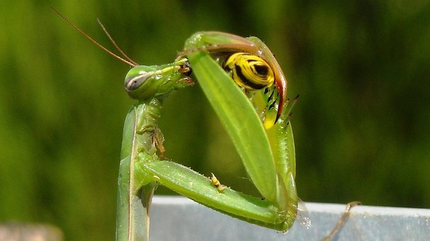 Prayer, Praying Mantis, Mantis Religiosa, Insects