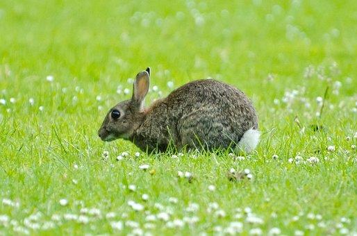 Rabbit, Mammal, Green, Spring, Brown, Bunny, Grass
