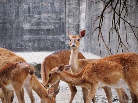 Zoo, Zurich, Animal, Eld's Deer, Flock
