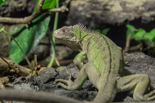 Small Antillean Iguana, Iguana, Animal, Reptile, Zoo