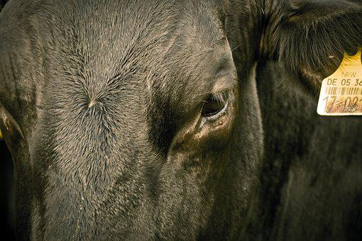 Cow, Animal, Agriculture, Brown, Farm, Nature, Meadow