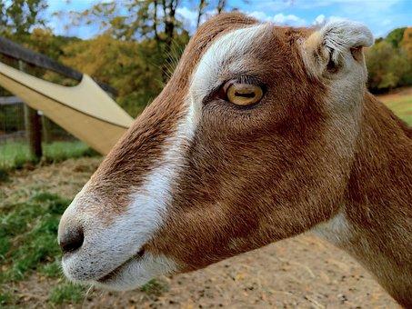 Goat, Profile, Portrait, Animal, Mammal, Nature