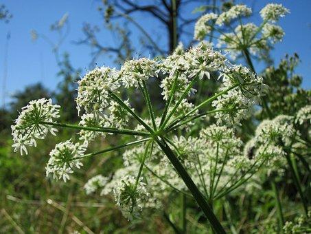 Apiaceae Hercaleum, Hogweed, Cow Parsnip, Flora, Botany