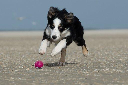 Border Collie, Ball, Running Dog, Ball Hunting, Beach