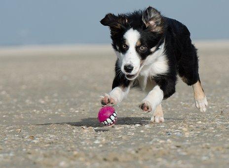 Border Collie, Ball Junkie, Ball Hunting, Collie, Beach