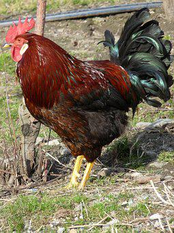 Hahn, Animal, Farm, Gockel, Poultry, Chicken, Bird