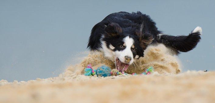 Border Collie, Dog, Play, Ball, Beach, Ball Junkie