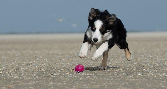 Border Collie, Beach, Dog With Ball
