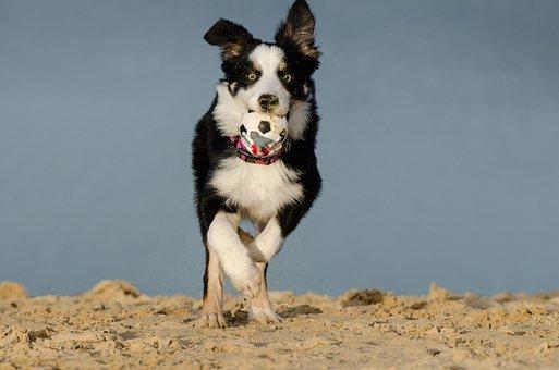 Border Collie, Dog, British Sheepdog, Collie, Ball
