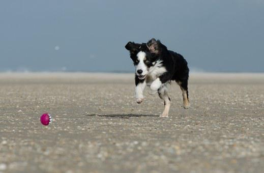Border Collie, Dog Runs After Ball, With Ball