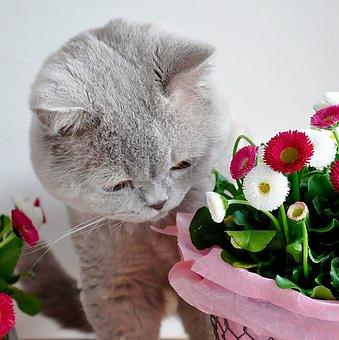 British Shorthair, Lilac, Grey, Cat, Easter, Bellis