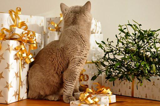 Cat, Christmas, Gifts, No Time, British Shorthair