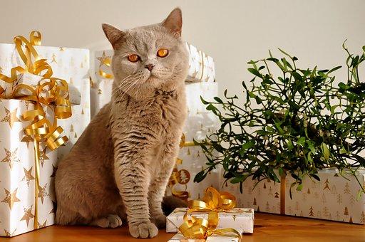 British Shorthair, Cat, Pet, Feline, Animal, Fur, Kitty