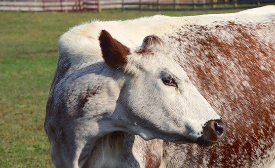 Cow, Farm, Woodstock Farm Animal Sanctuary, Animal