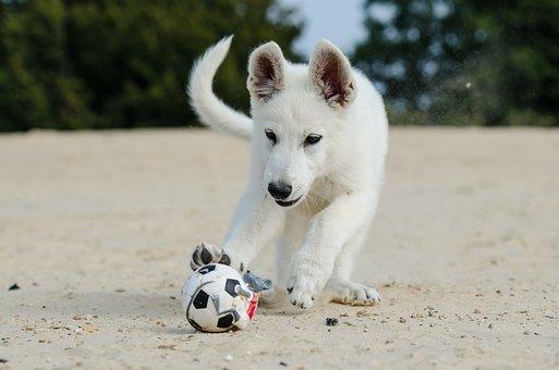 White Shepherd, Puppy, Dog Puppy, Dog Puppy At Beach