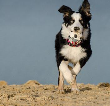 Border Collie, Tricolor, Three Coloured, Dog With Ball