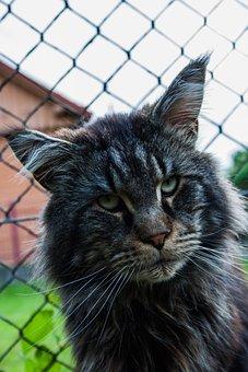Cat, Maine Coon, Domestic Cat, Animal, Futrzak, Coat