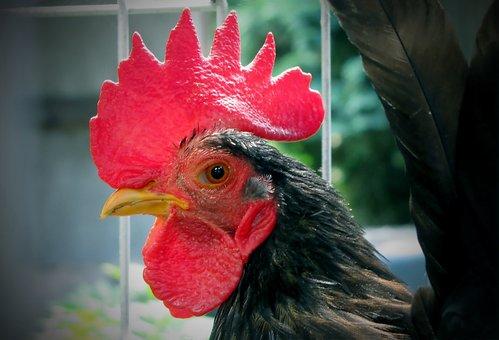 Haan, Poultry, Mohawk, Beak, Slap, Earlobe, Keellel