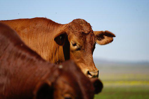 Cattle, Farm, Agriculture, Animal, Rural, Country, Cow