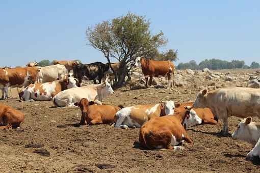 Cows, Farm, Animal, Cattle, Dairy, Milk, Mammal