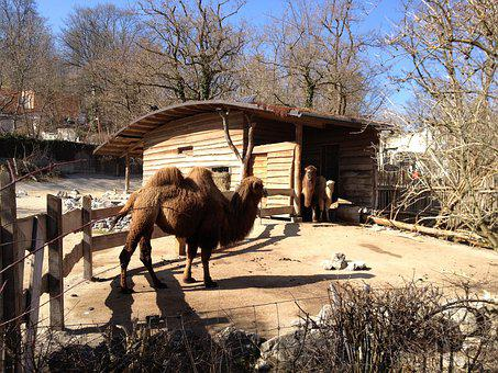 Zoo, Camel, Zurich, Park, Farm, Camelus, Animal, Mammal