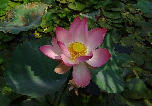 Lotus, Flower, Pink, Nelumbo, Nucifera, Stamen, Pistil