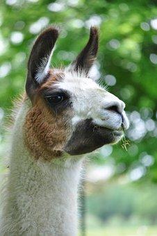 Llama, Smile, Animal, Ears, Fluffy, White, Head, Cute
