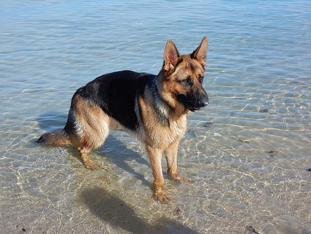 Dog, German Shepherd, Beach, Canine, Animal, Cute