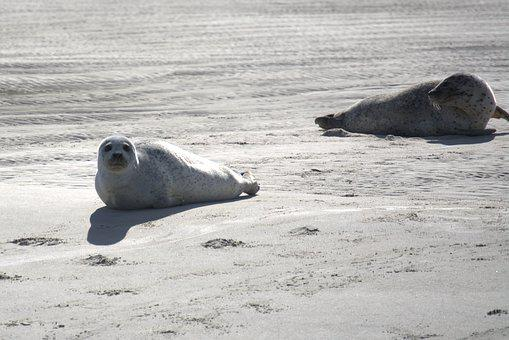 Crawl, Grey Seals, Sandbar, Meeresbewohner