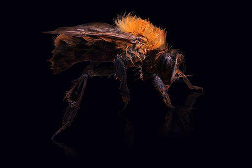 Hummel, Insect, Animal, Hair, Head, Summer, Honey