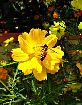 Flower, Cosmos, Cosmos Sulphureus, Bee, Honey-bee