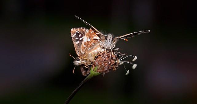 Butterfly, Insect, Animal, Mating, Reproduction