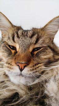 Cat, Maine Coon, Pet, Largest Domesticated Breed