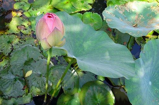 Lotus, Flower, Pink, Nelumbo, Nucifera, Bud