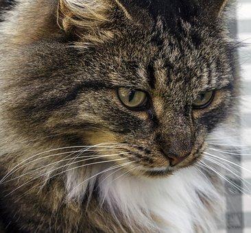 Norwegian Forest Cat, Domestic Cat, Cat, Natural Breed