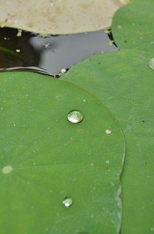 Lily Pads, Drop, Green, Water, Leaf, Blossom, Nature