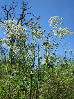 Apiaceae Heracleum, Hogweed, Cow Parsnip, Plant, Botany