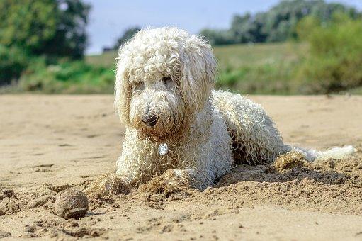 Golden Doodle, Beach, Ball, Dog, Play, Water, Beach Sea