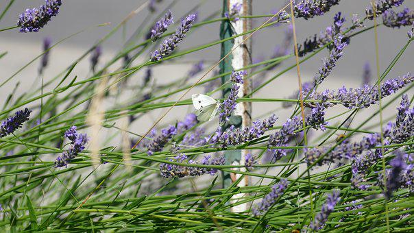 Lavender, Bee, Purple, Garden, Insect, Summer, Violet
