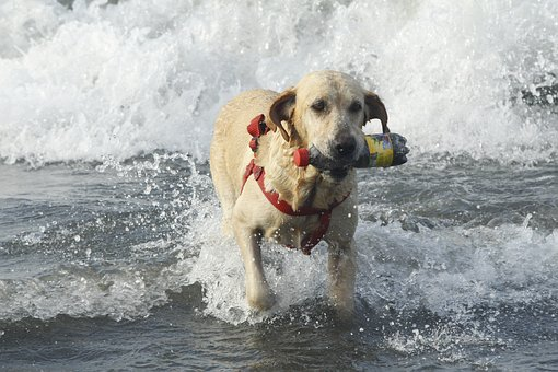 Beach, Dog, Sea, Pet, Sand, Animal, Animals, Labrador