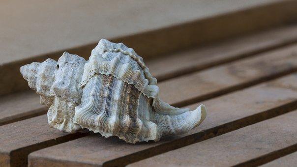 Sea Shell, Marine, Nature