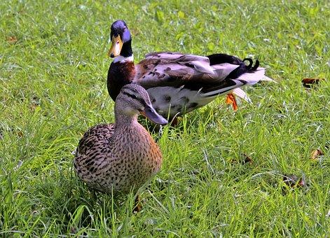 Duck, Animal, Couple, Nature, Birds, Water, Wild, Farm