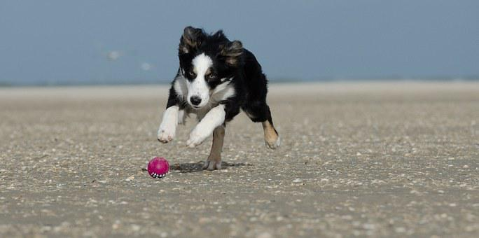 Young Border Collie, Dog On Beach, Summer, With Ball