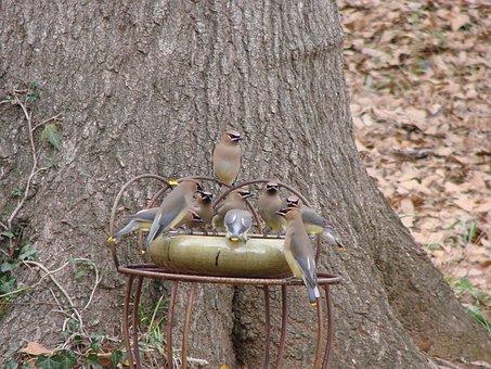 Cedar Wax Wings, Birds, Feeding, Bird Feeder, Feeder