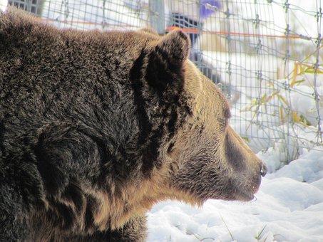 Grouse Mountain, Canada, Vancouver, Snow, Bear