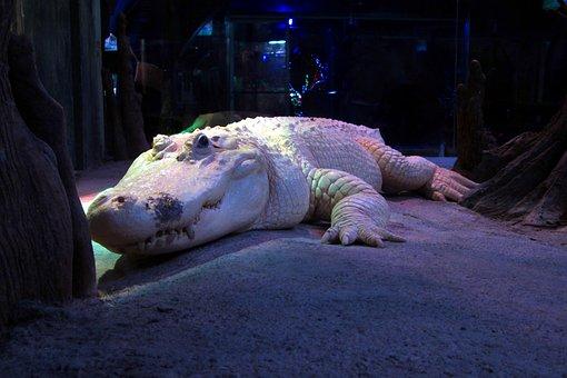 White Alligator, Albino, Crocodile, Zoo, Reptile
