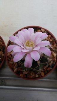 Flower, Blooming, Sweet Pinky, Summer, Flora